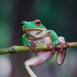 I am Watching You by Vincent Sinaga - Animals Amphibians ( watching, frog, amphibian, green frog, leaf frog )