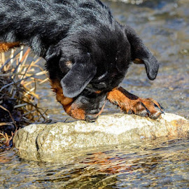 Rottwieler Puppy by Tonja Ante - Animals - Dogs Puppies ( water, puppies, dogs, puppy, dog, rottwieler )
