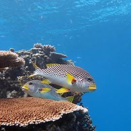 Sweetlips by Grant Pretorius - Animals Fish ( sweetlips, coral, suba, great barrier reef )