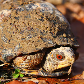 Red Eyed Box Turtle by Tracy Corello - Animals Reptiles ( red, box turtle, turtle )