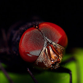 red eye by Tri Wahyono - Animals Insects & Spiders