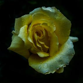 Rose with drops by Cristobal Garciaferro Rubio - Flowers Single Flower