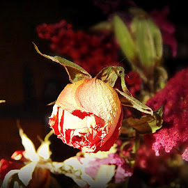 by Becky Hardy Dixon - Novices Only Flowers & Plants ( mini rose bud, novice, pink rose, flowers, rose bud )