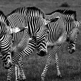 by Nikki Wilson - Black & White Animals ( black and white, natue, zebra, stripes, animal )