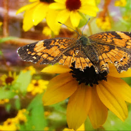 Pearl Crescent Butterfly by Haley Dawn - Animals Insects & Spiders ( butterfly, pearlcrescentbutterfly, blackeyedsusan, summer, yellow, garden, closeup, flower )