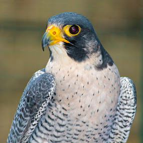 Peregrine Falcon by Aamir Munir - Animals Birds