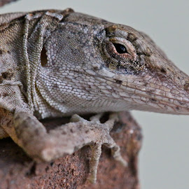 Close-up of a brown anole lizard by Sandy Scott - Animals Reptiles ( brown anole lizard, reptiles, lizard, lizard closeup, anole lizard,  )