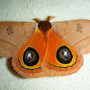 Automeris Moth