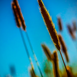 Against the sky by Martin Jahn - Nature Up Close Leaves & Grasses ( orange, sky, grass, blue, summer )