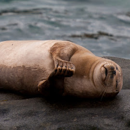 Peaceful Sleep by Kevin Mummau - Novices Only Wildlife ( love, prayer, seals, thanks, seal, rest, beach, sleep )