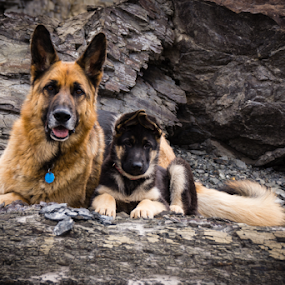 Brothers by Roni Franklin - Animals - Dogs Portraits ( puppies, dogs, german shepherd )