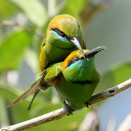 Mating by S Balaji - Animals Birds ( s.balaji, wild, animals, nature, style, green bee-eaters, birds,  )