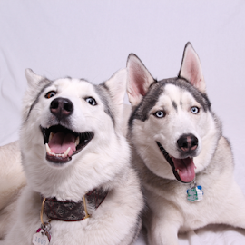 Lexy & Darwin II by Christine Jobin - Animals - Dogs Portraits ( studio, siberien, white, husky, siberian, black )
