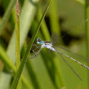 Spread-wing Damselfly