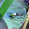 Green Vegetable Bug