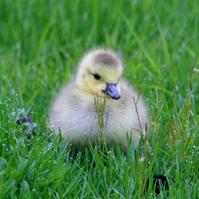 Baby Goose by Peter Andrusyszyn - Animals Birds ( photo by pete andrusyszyn, goose )