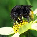 Long-horned Bee - female