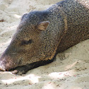 Collared peccary, javelina, saíno, báquiro