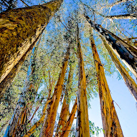Looking Up by Barbara Brock - Nature Up Close Trees & Bushes ( looking up tall trees, large trees, tree bark, tall trees )