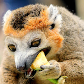 Lemur by Ralph Harvey - Animals Other Mammals ( animals, wildlife, lemur, ralph harvey, bristol zoo )