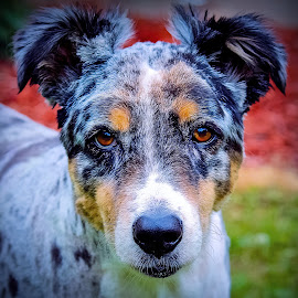 Summer clip by Sue Delia - Animals - Dogs Portraits ( groomed dog, australian shepherd dog, shaved dog,  )