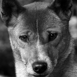 Dingo by Renos Hadjikyriacou - Animals - Dogs Portraits (  )