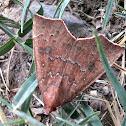 Lesser cotton-Leaf worm Moth