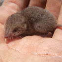 North American Least Shrew