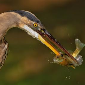 by Herb Houghton - Animals Birds