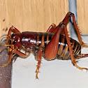 King cricket