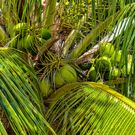 cozumel coconuts by Lennie Locken - Nature Up Close Gardens & Produce