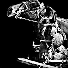 Work Horses by Teiana Bourdon - Animals Horses ( farm,  )