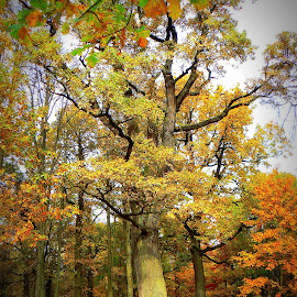 oak by Vygintas Domanskis - City,  Street & Park  City Parks ( fall, color, colorful, nature )