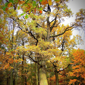 oak by Vygintas Domanskis - City,  Street & Park  City Parks ( fall, color, colorful, nature,  )