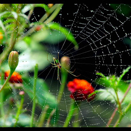 The Spider - Web. by Surjya Chattopadhyay - Novices Only Macro ( spider, spider - web, flowers, garden, shrubs )