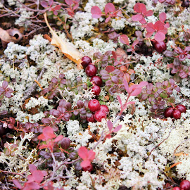 Cranberries by Amy Bundenthal Johnson - Nature Up Close Other plants