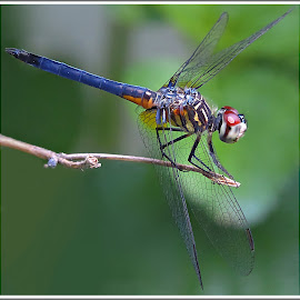 by Kathy Hancock - Animals Insects & Spiders ( macro, dark background, insect, dragonfly, animal )