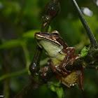Günther's whipping frog/Montane hour-glass tree-frog