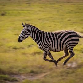 Zebra on the run by Wim Moons - Animals Other Mammals ( kenya, wildlife, mamal, zebra, africa )