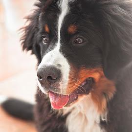 Mila  by Christian Diboky - Animals - Dogs Portraits ( swiss, fluffy, berner sennenhund, bernese mountain dog, puffy, puppy, swiss dog, fluffy hair, little dog, cute, dog, portrait )