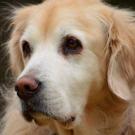 Squirt by John Clark - Animals - Dogs Portraits ( #goldenretriever )