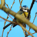 Bluet tit/pimpelmees