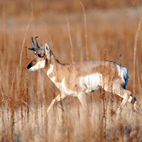 Antelope  by Cody Hoagland - Animals Other Mammals ( antelope )