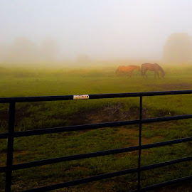 Misty Morning by Michelle Rhodes - Animals Horses