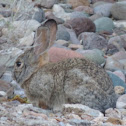 Desert Cottontail, Audubon's Cottontail