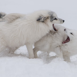 Arctic Foxes by Roland Bast - Animals Other ( winter, fox, canada, arctic fox, snow, white, fighting )