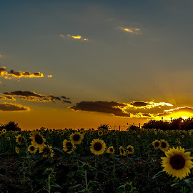 Sunset  by Tudor Migia - Landscapes Prairies, Meadows & Fields ( field, otopeni, sunset, sunflower, romania, sun )