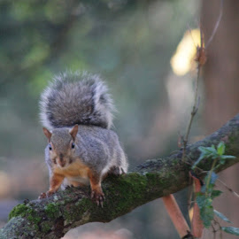 by Forrest Covin - Animals Other Mammals ( species, tree limb with squirel, nature, mammal, squirrel )
