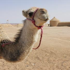 Dromedar in the desert by Neža Kompare - Landscapes Deserts ( dromedar, desert, hot, morocco, animal )