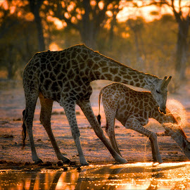 Two giraffe drinking in the late evening by Gerald Hinde - Animals Other Mammals ( botswana, drinking, giraffe, sunset, river. )